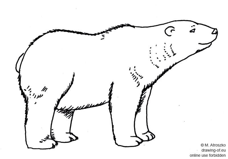Oso polar dibujo Dibujos