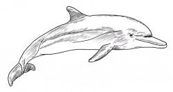 Delfin dibujo