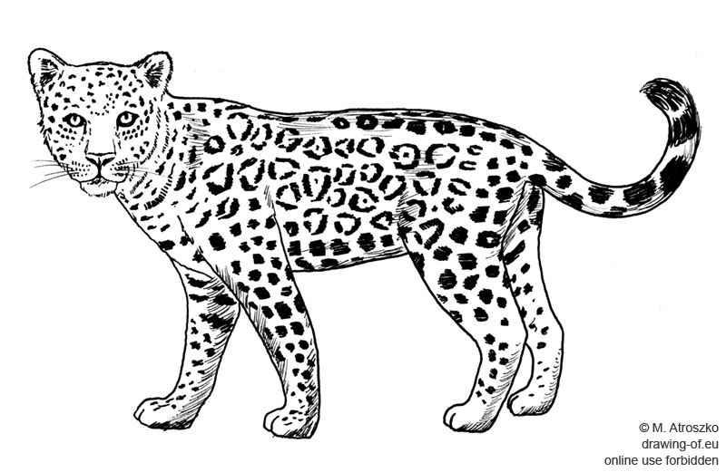 Jaguar dibujo