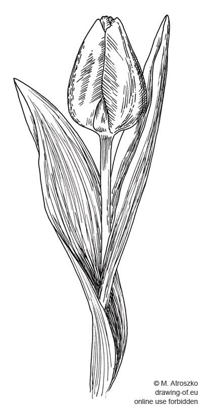 dibujo del tulipan