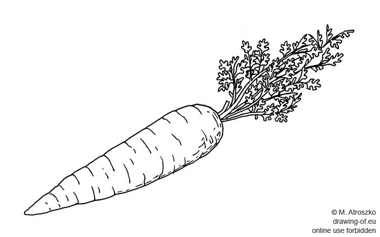 zanahoria dibujo