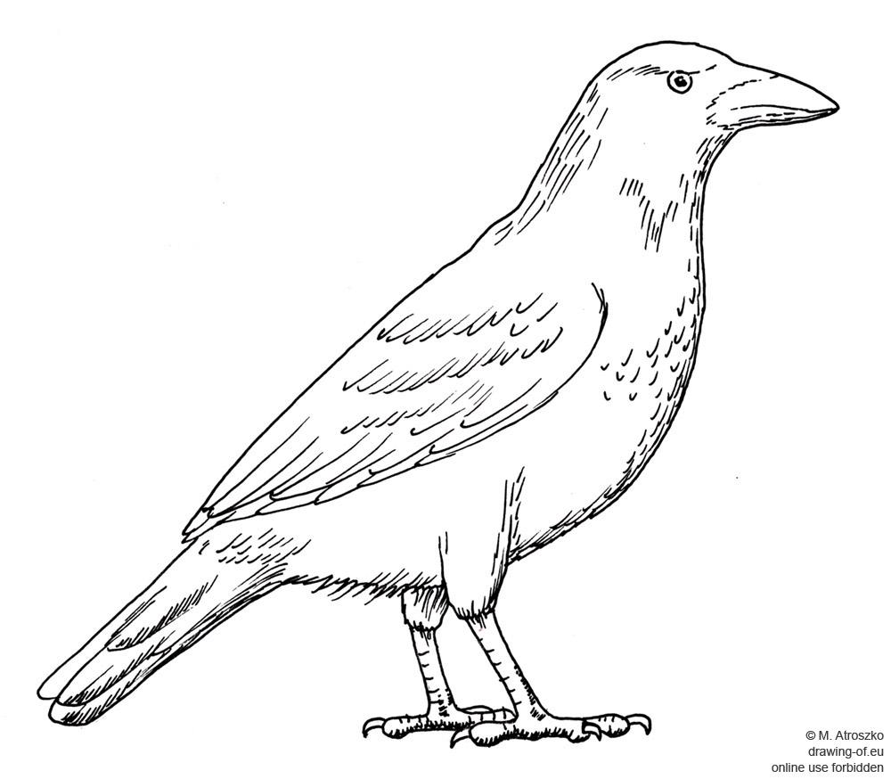 cuervo dibujo