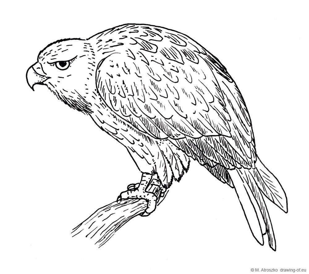 halcon pajaro dibujo
