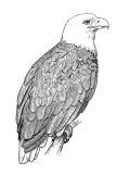 Aguila americana dibujo
