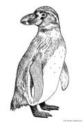 pinguino dibujo