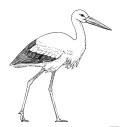Dibujo de cigüeña blanca