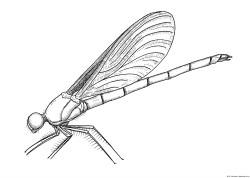 dibujo de anisoptera